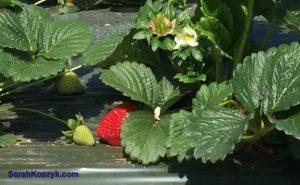 1_Strawberry_peakaboo