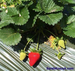 2_Strawberry