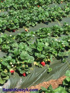 3_Strawberry_Fields