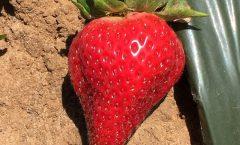 4_Strawberry